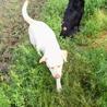 黒(メス/母)と白(メス/娘)のラブラドールです サムネイル7
