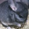 チンチラ(ネズミ科)