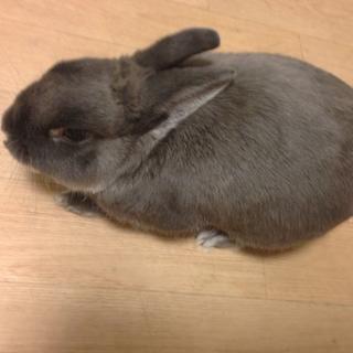 ミニウサギの里親様を募集