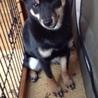 黒 柴犬のメス 5か月でかわいいですよ