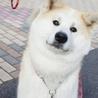 秋田犬メス、こまちゃん