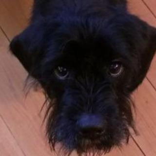 犬オス 1歳半のシュナウザーMIXです