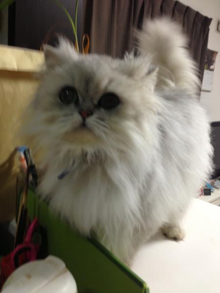 可愛いペルシャ猫ちゃんオスです