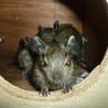 ◆デグーマウス里親さま募集してます◆