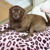 生後2年のチワワ×ポメラニアンのmix犬