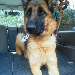 シェパードならGO!保護犬GO 幸せありがとう