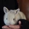 ミニウサギの赤ちゃん急募です