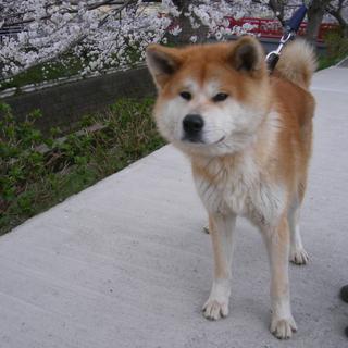 穏やかな性格の秋田犬男の子です