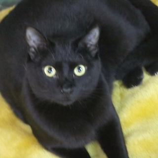 ★★コロッと丸い黒ネコちゃんです★★