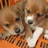 ビーグルの雑種子犬2匹の里親を募集しています