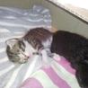 生後数日の子ネコ2匹を保護しています。