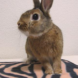 【里親様決定!】元気なミニウサギの男の子1才!