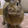 【里親様決定!】元気なミニウサギの男の子1才! サムネイル2