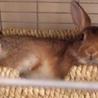 【里親様決定!】元気なミニウサギの男の子1才! サムネイル6