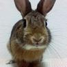 【里親様決定!】元気なミニウサギの男の子1才! サムネイル3