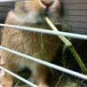 【里親様決定!】元気なミニウサギの男の子1才! サムネイル5