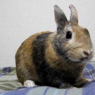 【トライアル決定】ミニウサギの男の子♪