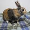 【トライアル決定】ミニウサギの男の子♪ サムネイル3