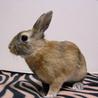 【トライアル決定】ミニウサギの男の子♪ サムネイル2