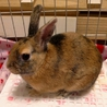 【トライアル決定】ミニウサギの男の子♪ サムネイル4