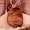 【トライアル決定】ミニウサギの男の子♪ サムネイル7
