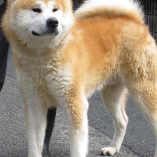 秋田犬 オス 成犬