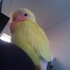 黄色いコザクラインコさんです