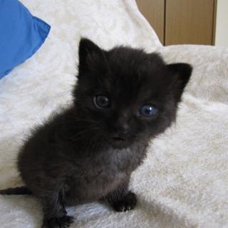 1ヶ月のふくふくの子猫
