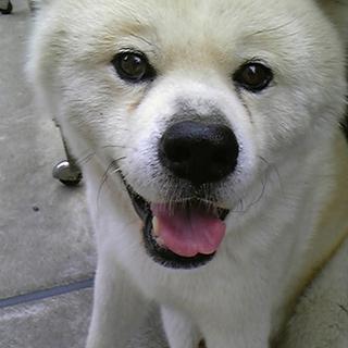 大きくて気が優しい秋田犬です♪ 誰か貰って下さい!