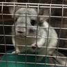 【小動物】チンチラ里親募集【1歳3ヶ月】