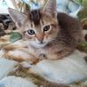 アビシニアン×スコテッシュのMIX子猫 飼い主募集