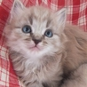 千葉県より、子猫の募集です