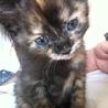 生後2ヶ月サビトラ子猫
