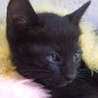 黒猫雑種メス(生後1ヶ月半)です。