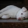 生後45日で保護した山犬の子です