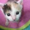 三毛の子猫 生後3週~4週