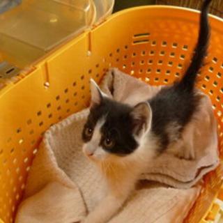 ちーちゃん、白×黒(はちわれ)の女の子。一ヶ月