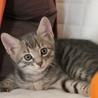 可愛い子猫のキジトラくんです!