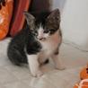 可愛いトラ&ホワイトソックスの子猫くんです。 サムネイル2