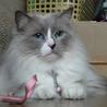 成猫ラグドール(♀)の里親になってください