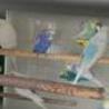ジャンボと羽衣セキセイインコ