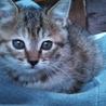 可愛い子猫譲ります