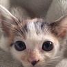 マーブル模様の三毛猫です!可愛いです!!!