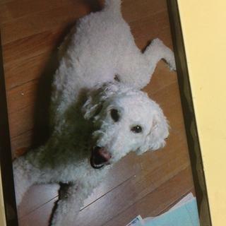 スタンダードプードル、ボルドーマスチフのミックス犬