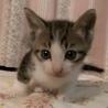 三匹の子猫の里親さん探しています キジトラ2