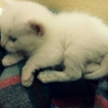 生後一ヶ月子猫♂里親募集
