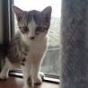 活発な性格のサバトラ猫の里親になりませんか