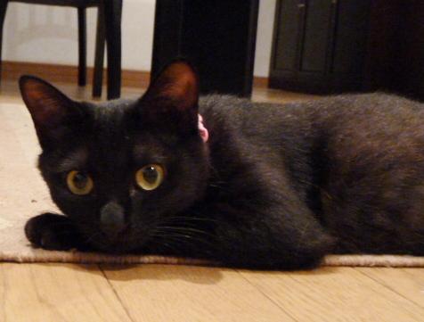 じっと見つめる黒猫