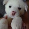 真っ白な可愛い女の子♪1.5ヶ月