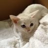 白猫オッドアイ♂二ヶ月